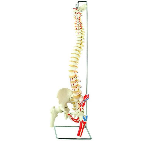Flexible-Wirbelsaeule-mit-Oberschenkelstuempfen-und-Muskelmarkierungen